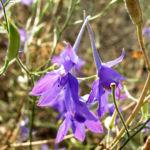 Bild: Gewöhnlicher Feldrittersporn Blüte bläulich Consolida regalis