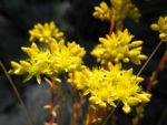 Felsen Fetthenne Bluete gelb Sedum rupestre 09