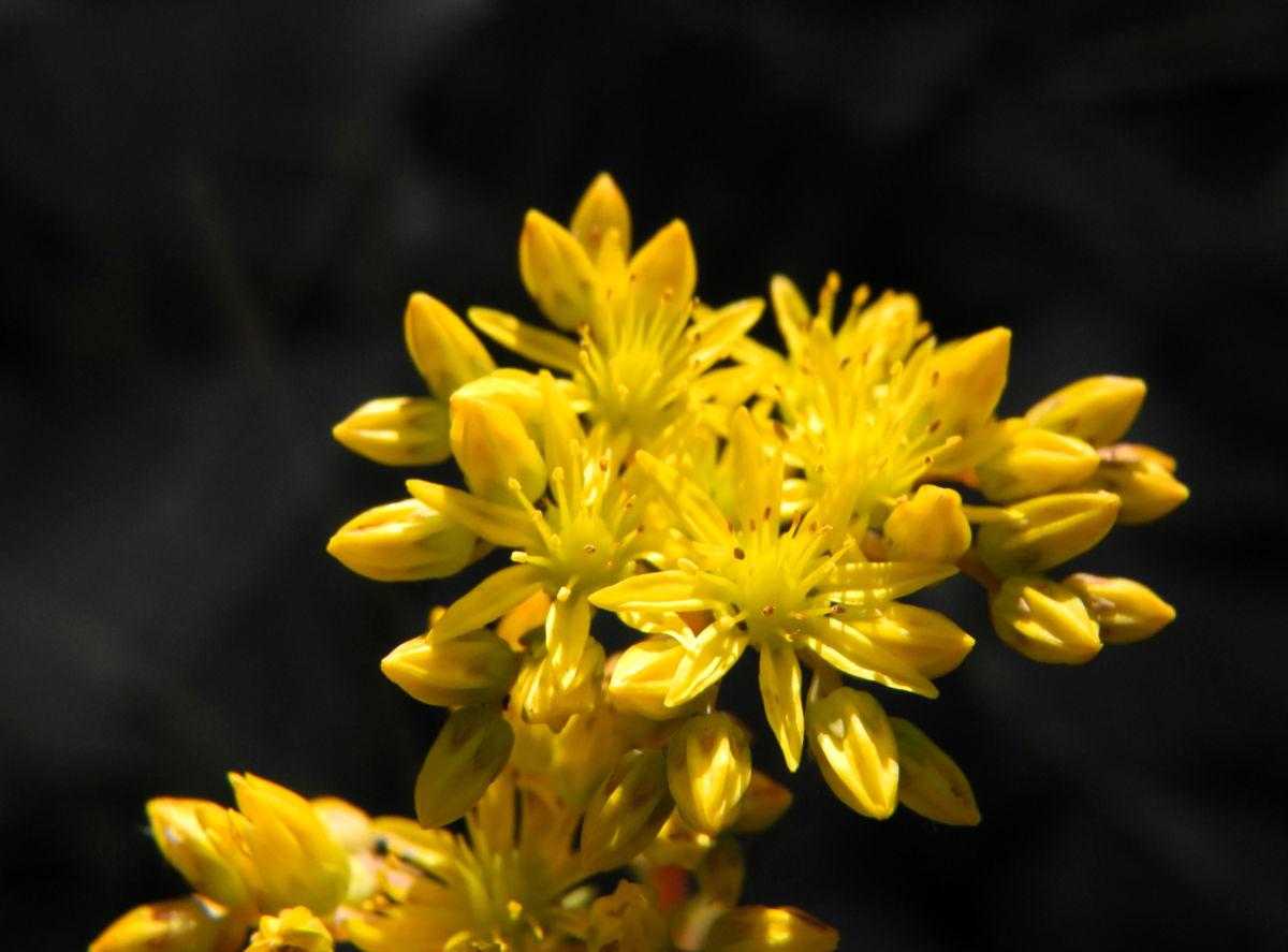 Felsen Fetthenne Bluete gelb Sedum rupestre