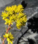 Felsen Fetthenne Bluete gelb Sedum rupestre 11