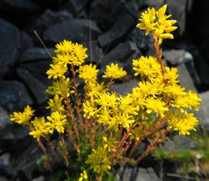 Felsen Fetthenne Bluete gelb Sedum rupestre 18