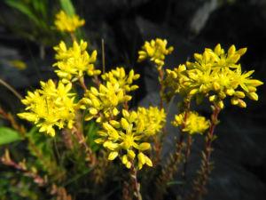 Felsen Fetthenne Bluete gelb Sedum rupestre 24