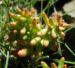Zurück zum kompletten Bilderset Felsen-Fetthenne Blüte gelb Sedum rupestre