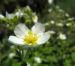 Zurück zum kompletten Bilderset Felsen-Fingerkraut Blüte weiß Potentilla rupestris