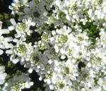 Bild: Felsen-Schleifenblume Blüte weiß Iberis saxatilis