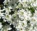 Zurück zum kompletten Bilderset Felsen-Schleifenblume Blüte weiß Iberis saxatilis