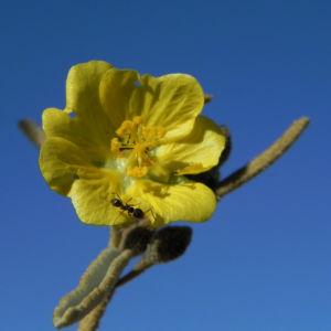 Felsen Sida Bluete gelb Sida calyxhymenia01