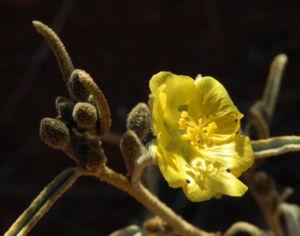 Felsen Sida Bluete gelb Sida calyxhymenia03