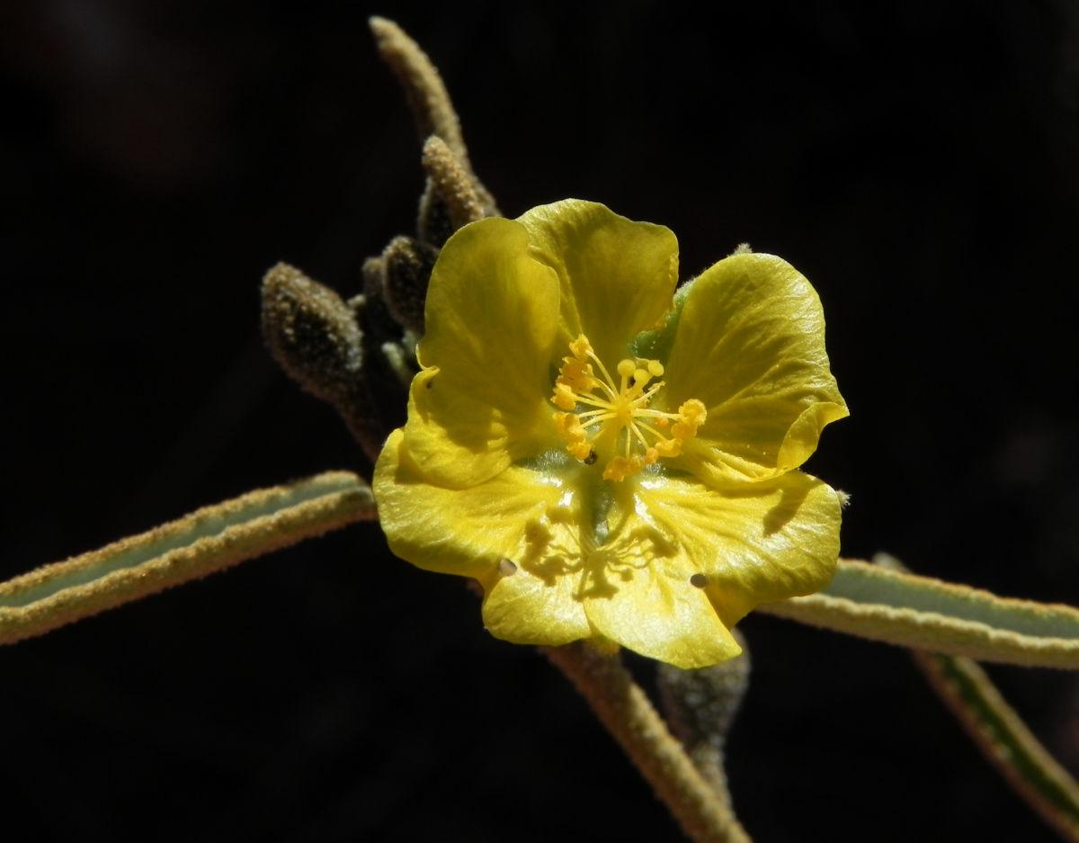 Felsen Sida Bluete gelb Sida calyxhymenia
