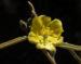 Zurück zum kompletten Bilderset Felsen-Sida Blüte gelb Sida calyxhymenia