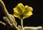 Felsen Sida Bluete gelb Sida calyxhymenia06