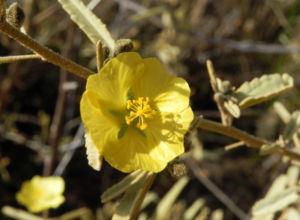 Felsen-Sida Blüte gelb Sida calyxhymenia 08