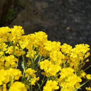 Bild: Felsen Steinkraut Bluete gelb Aurinia saxatilis