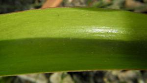 Felsen Tulpe Blatt gruen Tulipa saxatilis 03