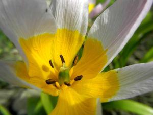 Felsen Tulpe Bluete weiß gelb Tulipa saxatilis 03