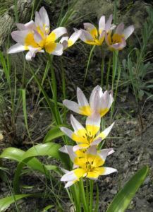 Felsen Tulpe Bluete weiß gelb Tulipa saxatilis 10
