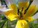 Zurück zum kompletten Bilderset Felsen-Tulpe Blüte weiß gelb Tulipa saxatilis