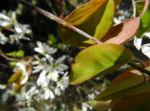 Felsenbirne Blatt Amelanchier lamarckii 03