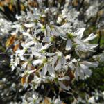 Felsenbirne Bluete weiß Amelanchier lamarckii 05