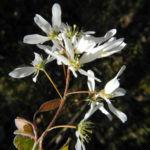 Felsenbirne Bluete weiß Amelanchier lamarckii 06