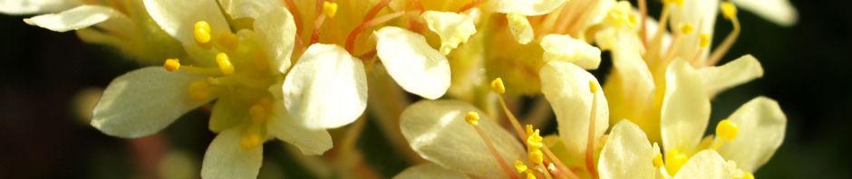 Anklicken um das ganze Bild zu sehen  Ferdinand-von-Coburg-Steinbrech Blüte hellgelb Saxifraga ferdinandi coburgi