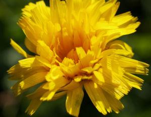 Ferkelkraut Bluete gelb Hypochoeris radicata 01