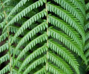 Fern Tree Blatt gruen Dicksonia antarctica 16