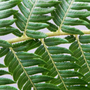Fern Tree Blatt gruen Dicksonia antarctica 18