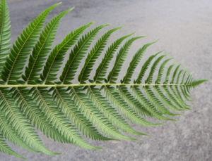 Fern Tree Blatt gruen Dicksonia antarctica 21
