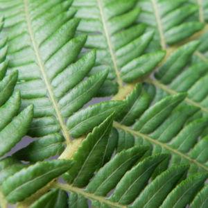 Fern Tree Blatt gruen Dicksonia antarctica 24