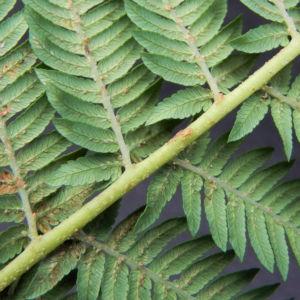 Fern Tree Blatt gruen Dicksonia antarctica 25