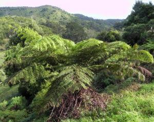 Fern Tree Blatt gruen Dicksonia antarctica 26