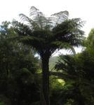 Fern Tree Blatt gruen Dicksonia antarctica 29