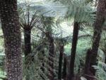Fern Tree Blatt gruen Dicksonia antarctica 32