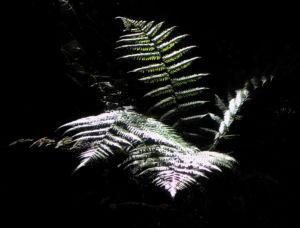Fern Tree Blatt gruen Dicksonia antarctica 43