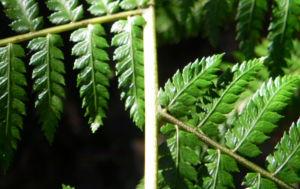 Fern Tree Blatt gruen Dicksonia antarctica 46