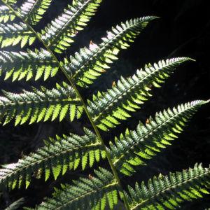 Fern Tree Blatt gruen Dicksonia antarctica 47