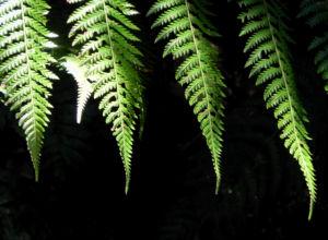 Fern Tree Blatt gruen Dicksonia antarctica 48