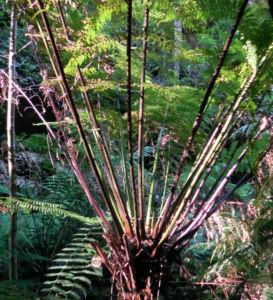 Fern Tree Blatt gruen Dicksonia antarctica 53