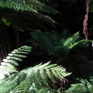 Fern Tree Blatt gruen Dicksonia antarctica 62