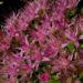 Zurück zum kompletten Bilderset Prächtige Fetthenne Blüte Sedum spectabile