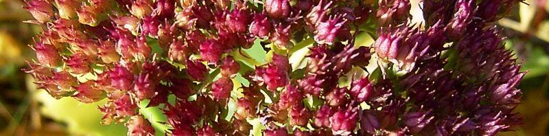 Anklicken um das ganze Bild zu sehen Prächtige Fetthenne Blüte pink Sedum spectabile