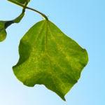 Feuerbohne Prunkbohne Blatt gruen Bluete orange Phaseolus coccineus 01