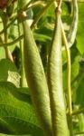 Feuerbohne Prunkbohne Blatt gruen Bluete orange Phaseolus coccineus 03