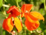 Feuerbohne Prunkbohne Blatt gruen Bluete orange Phaseolus coccineus 04