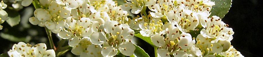 Anklicken um das ganze Bild zu sehen Feuerdorn Blüte - Pyracantha coccinea