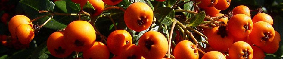 Anklicken um das ganze Bild zu sehen Feuerdorn Frucht rot - Phyracantha coccinea