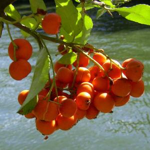 Feuerdorn Frucht rot Phyracantha coccinea 02