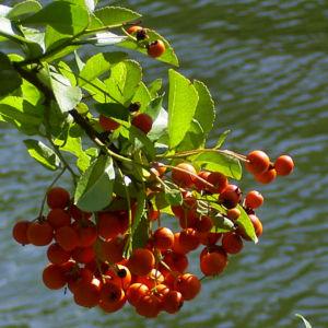 Feuerdorn Frucht rot Phyracantha coccinea 03