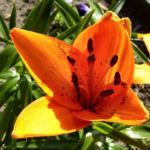Feuerlilie Lilium bulbiferum 01